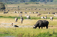 Cape Buffalo, Syncerus caffer caffer, and Saddle-billed Stork, Ephippiorhynchus senegalensis, in Ngorongoro Crater, Ngorongoro Conservation Area, Tanzania. Behind them is a herd of Grant's Zebras, Equus quagga boehmi, and a Wildebeest, Connochaetes taurinus.