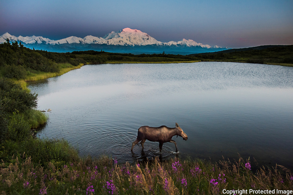 A moose walks along reflection pond in front of Mt. Denali in the backcountry of Denali National Park in Alaska. The very top of the mountain reveals the remnants of the setting sun at 11:55 p.m. <br /> -2015
