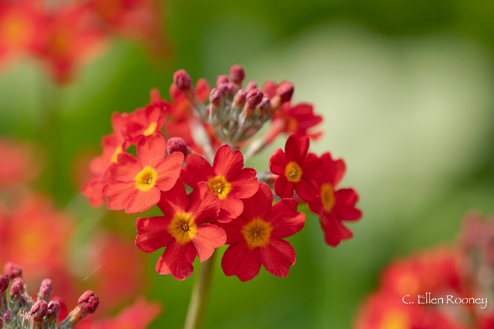 Primula Candelabra, bright orange and yellow flower in the bog garden at Forde Abbey, Chard, Dorset, UK