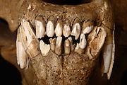 Kodiak bear skull Teeth(Ursus arctos middendorffi)