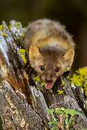 Marten portrait on mossy tree stump - interested or aggressive?  [This animal was born and raised in captivity, photographed in an outdoor setting in Montana.] © 2004 David A. Ponton