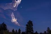 Bats flying at dusk in ponderosa forest in Central Oregon. © Michael Durham