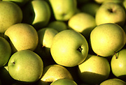 Close up selective focus photograph of a pile of Golden Delicious Apples