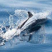 Bottlenose dolphin (Tursiops aduncus) creating a beautiful wake as it slices through the surface of the ocean at high speed