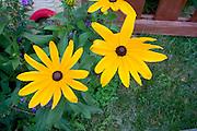 Two large bright yellow daisies.  St Paul Minnesota USA
