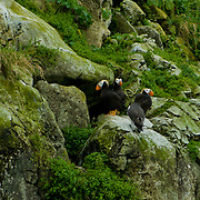 North America, United States, US, Northwest, Pacific Northwest, West, Alaska. Glacier Bay, Glacier Bay National Park, Glacier Bay NP. Horned puffins and common mirs make their homes in the craggy cliffs of Glacier Bay National Park and Preserve, Alaska.