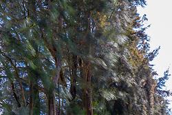 Casuarina Trees Along Hawi To Waimea Route