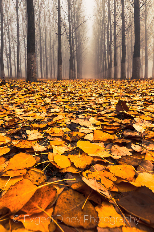 Cover of orange leaves in a misty poplar forest