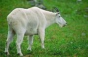 A mountain goat billy (Oreamnos Americanus) in green grass, Glacier National Park, Montana