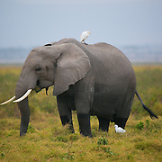 """Elephant in Africa, Kenya, Amboseli National Park with cattle egrets sitting on its back.<br /> <br /> For all details about sizes, paper and pricing starting at $85, click """"Add to Cart"""" below."""