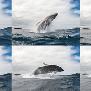 This sequence of ten photographs depicts a female humpback whale calf (Megaptera novaeangliae australis) executing a breach. I took the photos in this sequence while in the water, using a fisheye lens, with a shutter speed of 1/6400 of a second to freeze the action. In spite of this, part of the second image in the sequence is blurry. This provides an indication of the incredible acceleration achieved during the beginning of a whale breach.
