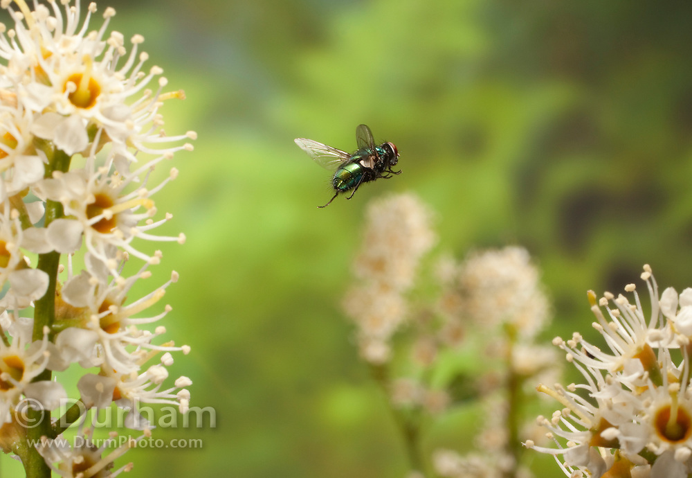 A Green Bottle Fly (Calliphora sp.) , a memeber of the blow fly family, photographed in 1/50,000 of a second in Western Oregon. © Michael Durham / www.DurmPhoto.com
