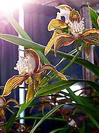 Maroon stripes adorn the yellow and white petals of an exotic orchid flower