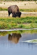 Grazing Bison, Reflection, Yellowstone National Park