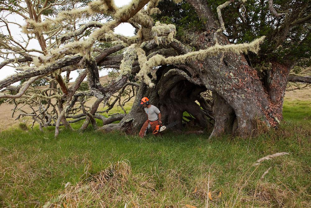 Workers remove and treat Faya bush on Koa tree, Hawaiian