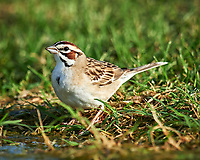 Lark Sparrow (Chondestes grammacus). Campos Viejos, Texas. Image taken with a Nikon D4 camera and 600 mm f/4 VR lens