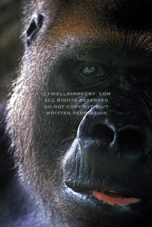 Image of a male Silverback Gorilla (Gorilla gorilla) portrait by Randy Wells