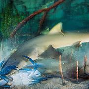 A lemon shark (Negaprion brevirostris) test-bites a large blue crab. The crab walked away unscathed.