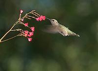 Anna's hummingbird, Calypte anna. Santa Cruz Mountains, California