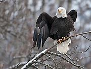 Bald eagle, Chilkat Eagle Preserve, near Haines, Alaska