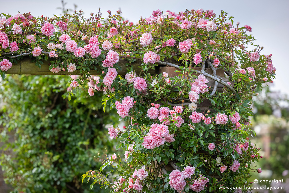 Rosa 'Paul Noël' growing on a pergola
