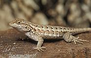 Western Fence Lizard, Sceloporus occidentalis