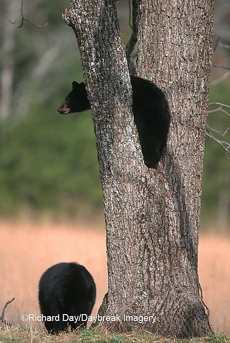 01872-005.03  Black Bear (Ursus americanus) cubs climbing tree Great Smoky Mountains NP  TN