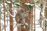 Snow Monkey in the woods on the way to Jigokudani Monkey Park Nagano Prefecture Japan