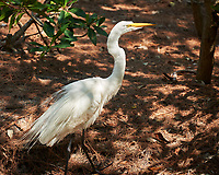 Great Egret (Ardea alba). Image taken with a Nikon D3x camera and 70-300 mm VR lens.