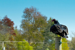 19 October 2015:   A turkey vulture or buzzard sits atop a fence post in rural Indiana waiting for a passerby to leave so it can return to it's meal of roadkill.<br /> <br /> The turkey vulture, also known in some North American regions as the turkey buzzard, and in some areas of the Caribbean as the John crow or carrion crow, is a vulture that is the most widespread of the New World vultures.<br /> <br /> Cathartes aura