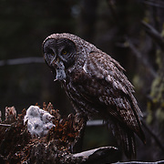 Adult Great Gray Owl feeding chicks a vole in a nest in Montana.