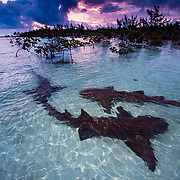 Nurse sharks engage in courtship rituals at sunrise in The Bahamas.