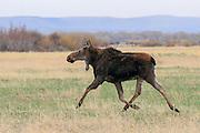 Running Cow Moose
