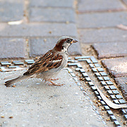 Male house sparrow (Passer domesticus). Photographed in Jerusalem, Israel in July