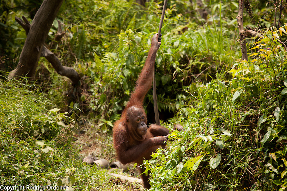 An orangutan hangs from a vine at the sanctuary run by the Borneo Orangutan Survival Foundation in the Samboja Lestari conservation area in Kutai Kartanegara district, East Kalimantan, Indonesia, on March 13, 2016. This sanctuary offers a natural environment to orangutans that cannot be returned to the wild because of their severe disabilities or because they were raised in captivity and can no longer learn forest skills. Bornean Orangutans (Pongo pygmaeus) are classified as Endangered by IUCN because of the loss of rainforests to agriculture or fires, poaching and the pet trade. <br /> (Photo: Rodrigo Ordonez)