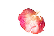 Backlit onion skin On white Background
