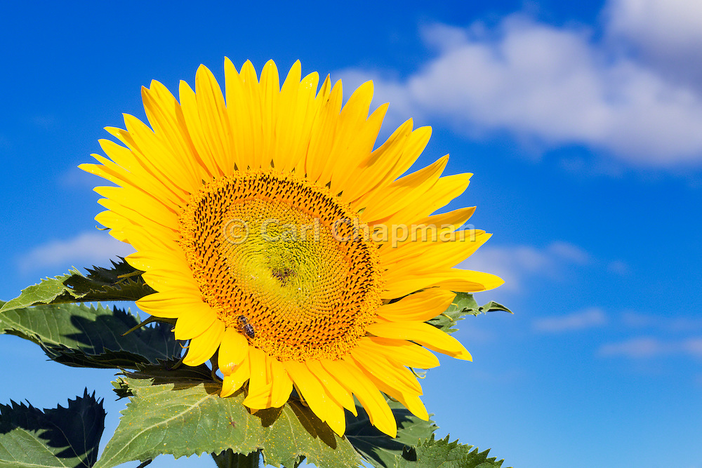 Bee pollinating a flowering sunflower head in morning sun near Ryeford, Queensland, Australia <br /> <br /> Editions:- Open Edition Print / Stock Image
