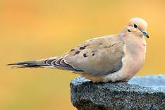 Columbiformes (Pigeons)