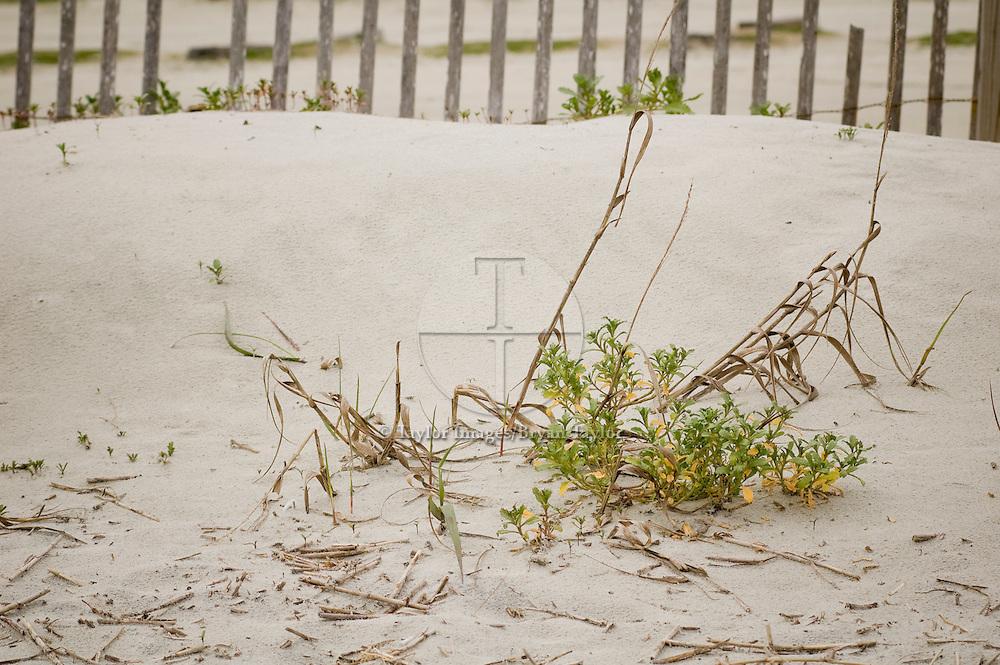 Vegetation growing amongst dead grass on sand dune in Pawleys Island, South Carolina