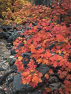 Fall leaves, Oak Creek Canyon, Sedona, AZ