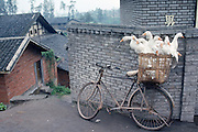 Ducks to be driven to market by bicycle in Beijing, China.