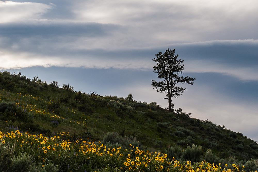Ponderosa pine tree (Pinus ponderosa) and arrowleaf balsamroot (Balsamorhiza sagittata), evening light, June, Methow River watershed, sagebrush-steppe zone, Okanogan County, Washington, USA