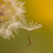 The seed head of a Crepis palaestina. one seed is detached Photographed in Israel in March