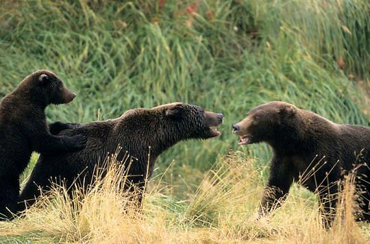 Alaskan Brown Bear, (Ursus middendorffi)  Two mothers showing agression. Katmai National Park. Alaska.