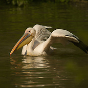 Pelican stretching its wings.