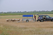 Sheepdog herds sheep into a wagon A set of six images