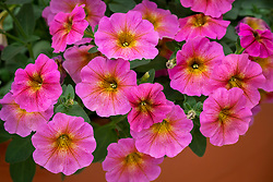 Petunia BeautiCal 'Sunray Pink'