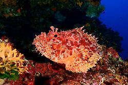 Scorpaena scrofa, Grosser Roter Drachenkopf im Korallenriff, Red scorpionfish in Coral reef, Lastovo, Adria, Adriatisches Meer, Mittelmeer, Dalmatien, Kroatien, Lastovo, Adriatic Sea, Mediterranean Sea, Dalmatia, Croatia