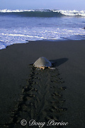 female olive ridley sea turtle, Lepidochelys olivacea, returning to sea after nesting, leaves tractor-like tracks on beach, Ostional, Costa Rica, Central America ( Eastern Pacific Ocean )