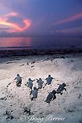 loggerhead sea turtle hatchlings, Caretta caretta, <br /> emerge from nest and crawl across beach towards ocean, Juno Beach, Florida ( Western Atlantic Ocean )